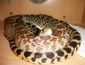 Pituophis catenifer sayi 0,1